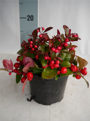 Gaultheria Big berry P13