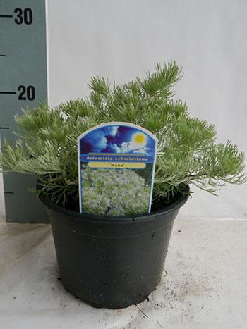 Artemisia C2