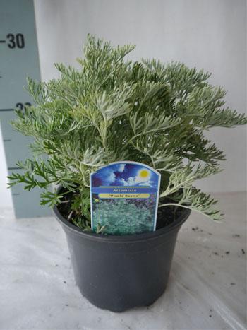 Artemisia powis castle
