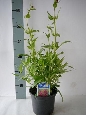 Centranthus cocineus