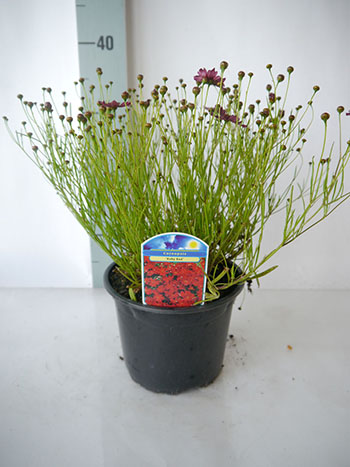 Coreopsis ruby red